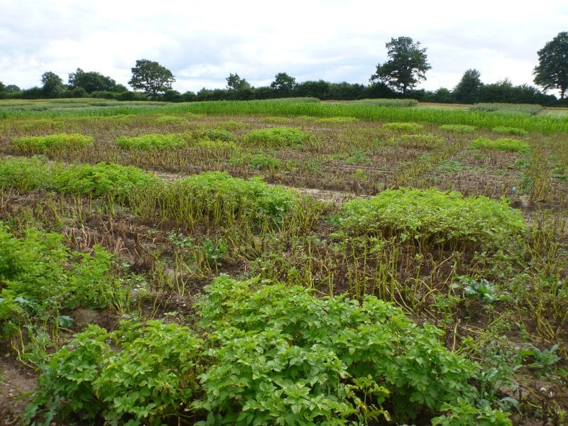 Starch Trek: What it Takes to Breed a New Potato Variety